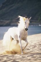 White Horse Running On The Beach mural wallpaper thumbnail