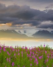 Field Of Fireweed On Hill Overlooking Kachemak Bay wall mural thumbnail