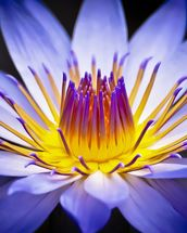 Colourful Waterlily mural wallpaper thumbnail