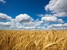 Wheat Field wall mural thumbnail