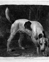 Dog (A Foxhound on the Scent) engraved by the artist, pub. 1788 (etching) mural wallpaper thumbnail