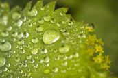Water droplets on a leaf wall mural thumbnail