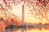 The Washington Monument and Cherry Blossom wall mural thumbnail