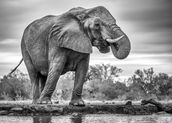 Elephant Black and White wall mural thumbnail