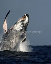Humpback Whale Breaching wallpaper mural thumbnail
