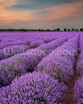 Fields of Lavenders wallpaper mural thumbnail