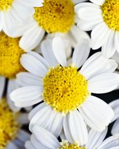 Summer Daisies - Cluster Of White Blossoms mural wallpaper thumbnail
