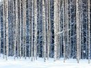 Snowy Birch Forest wall mural thumbnail