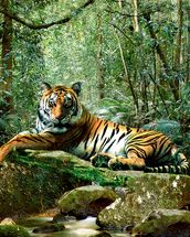 Tiger in Jungle wallpaper mural thumbnail