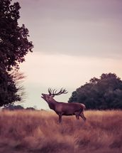 Stag at Sunrise wallpaper mural thumbnail