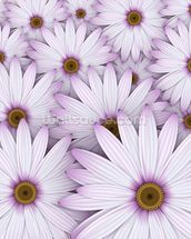 Field of Purple Daisies wall mural thumbnail