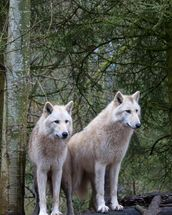 White Wolf Pair at the Woodland Park Zoo in Seattle wallpaper mural thumbnail