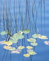 Reeds and Lily Pads wall mural thumbnail