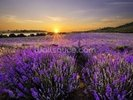 Sunset over Lavender Field wall mural thumbnail