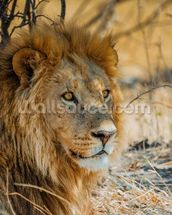 Lion in Africa mural wallpaper thumbnail
