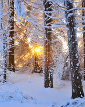Snow Covered Trees wall mural thumbnail
