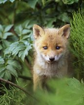 Kit Red Fox Peering Through Bushes wallpaper mural thumbnail