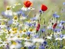 Wild Flower Meadow wall mural thumbnail