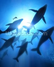 Humpback Whales and Diver mural wallpaper thumbnail