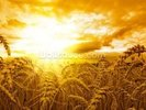 Sunset Over Wheat Field wall mural thumbnail